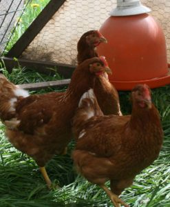 organic ready to lay pullets